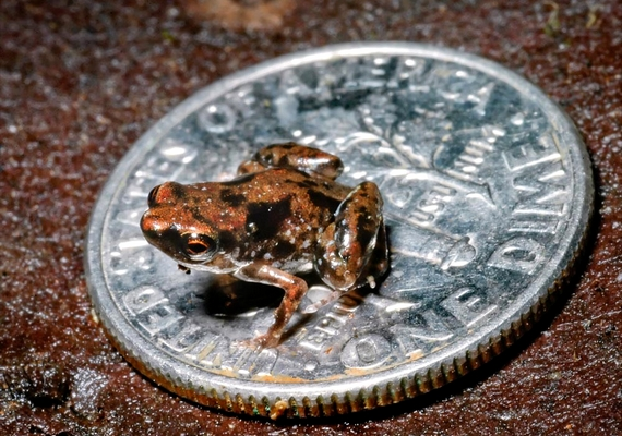 small-frog