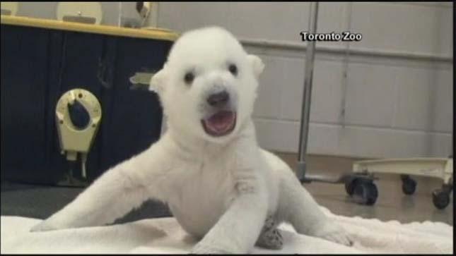 polar-cub