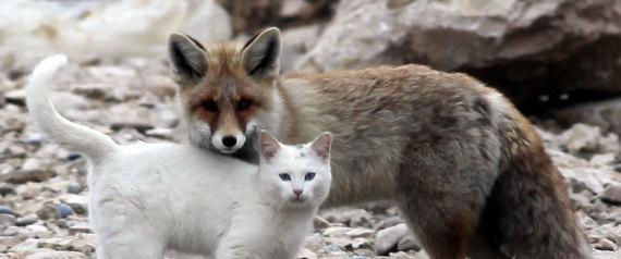 cat-fox-1