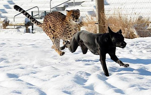 dog-cheetah.jpg