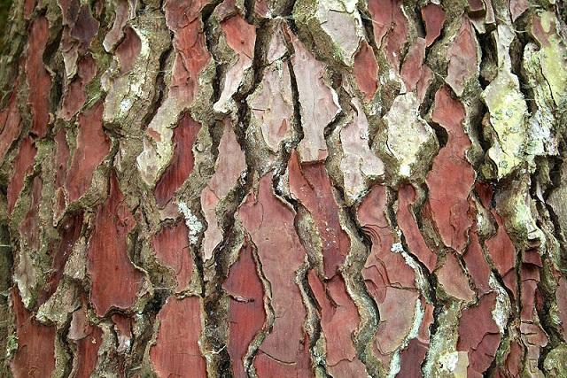 Pinus_pinaster.jpg