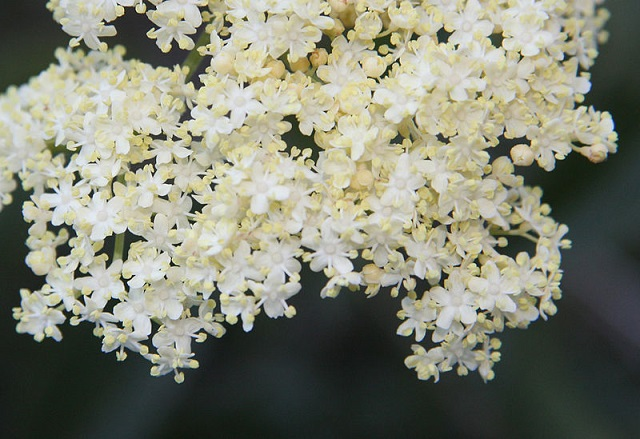 elderberry_Sambucus_mexicana_flowers.jpg