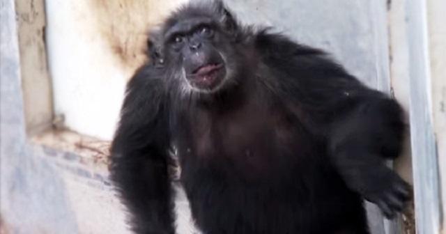 chimpanzees1.jpg