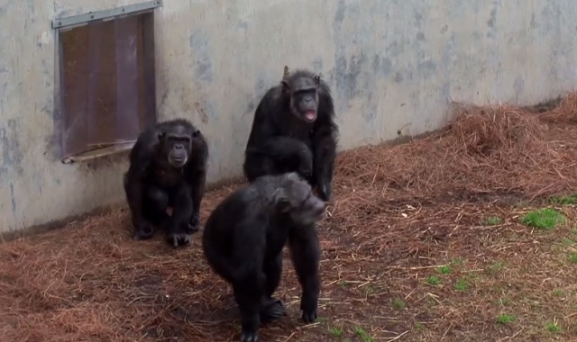 Retired lab chimpanzees see sunlight for the first time - They reaction is amazing!