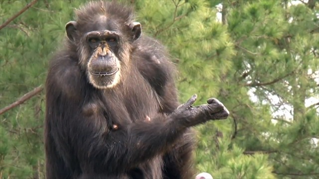 Retired lab chimpanzees see sunlight for the first time -They reaction is amazing!