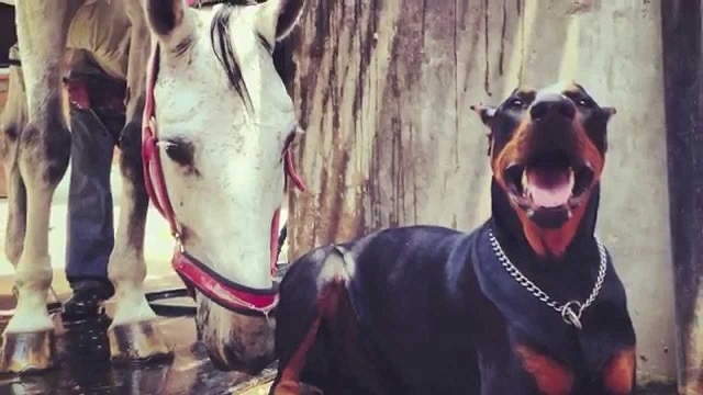 "The Doberman, Boss, is called ""The Horse Whisperer"". When you see him in action, you'll understand why"