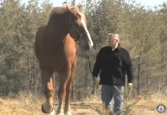 Meet he world's tallest horse - VIDEO