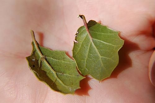 bay-leaf.jpg