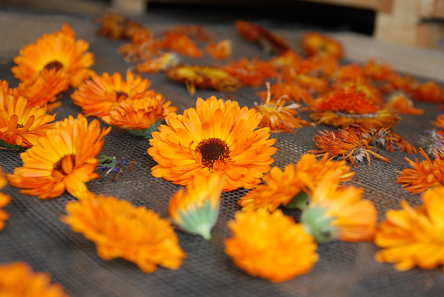 Calendula can be useful in treating many health problems: skin inflammation, cancer, eye diseases