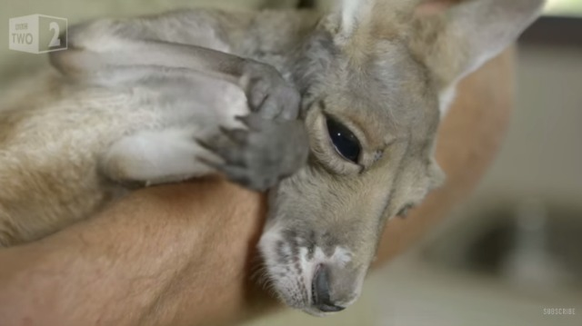 Baby kangaroo gets a bath and a blow dry