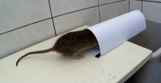 This simple idea will help you get rid of mice and rats easily