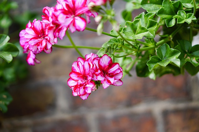 Nine illnesses treated by geranium, an excellent natural remedy