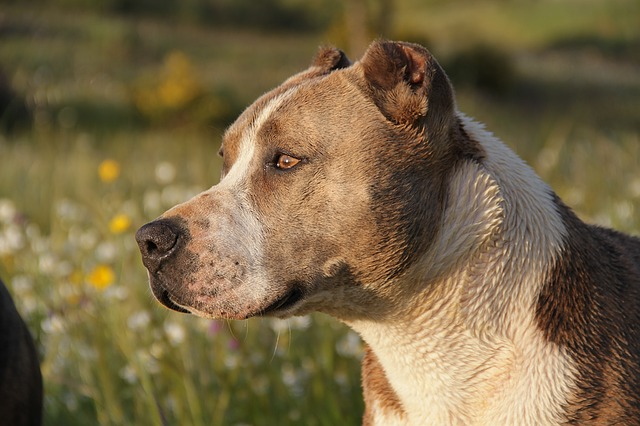 Top 5 of the most aggressive dog breeds