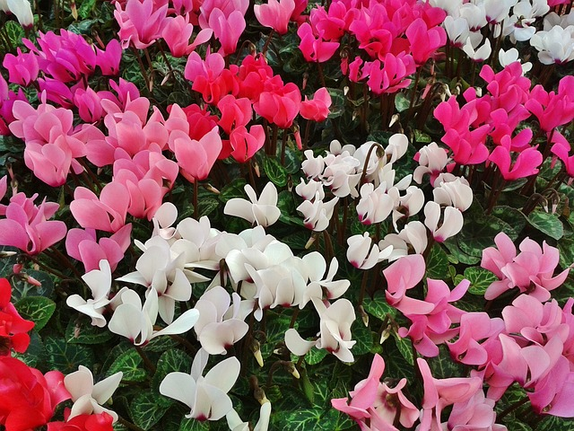 Cyclamen, a plant that releases positive energies in your home