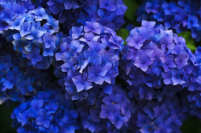 A magical trick: how to change the color of hydrangeas from pink to blue