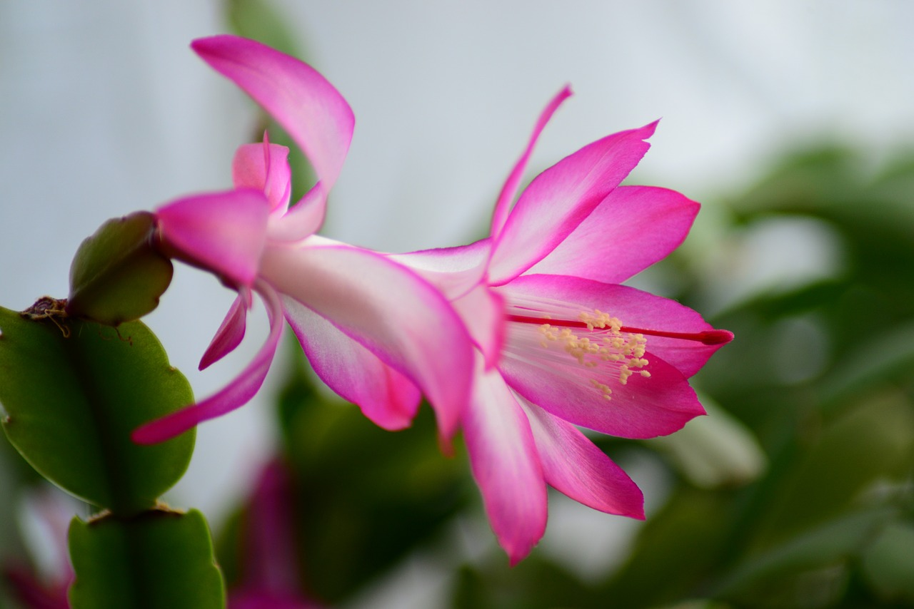 How to convince a Christmas cactus to bloom during the holidays