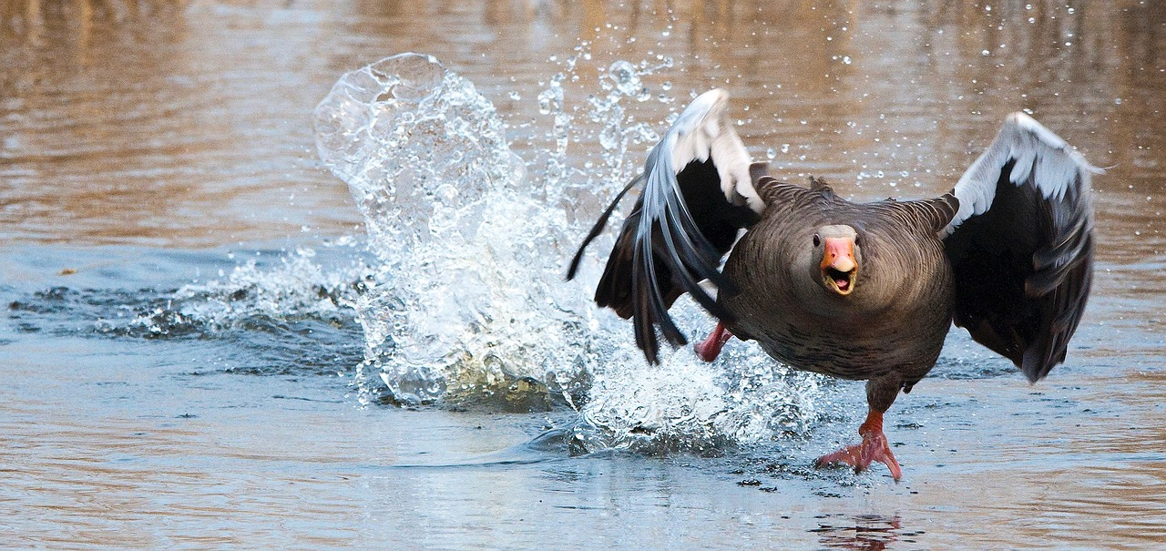 Never feed water birds – it causes more harm than good