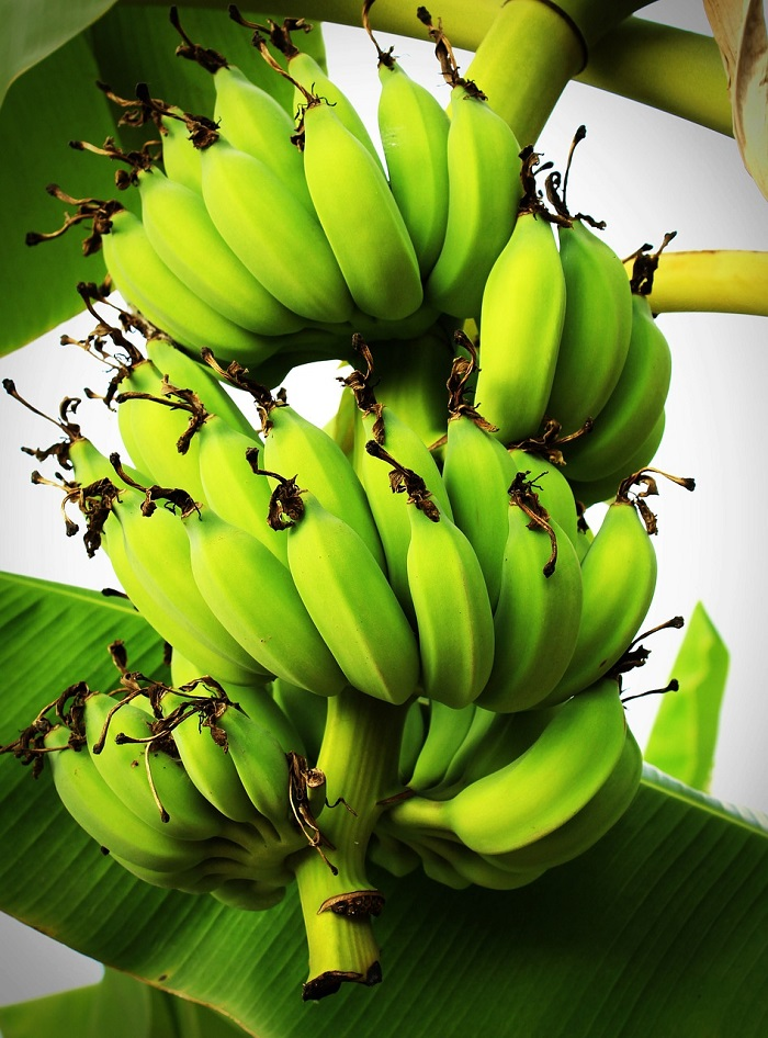 The most popular potted plant of recent years: how to grow a banana tree
