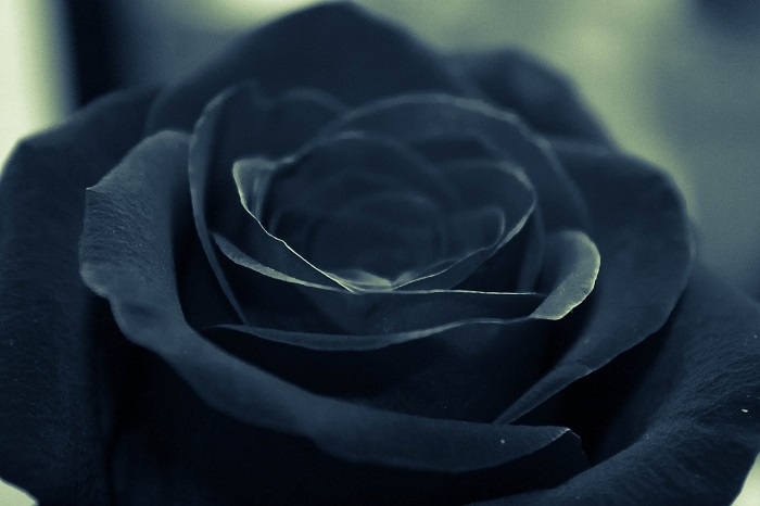 Black roses, a fascinating myth! How real are they?