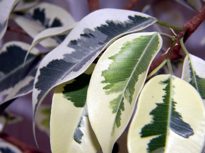 Tips for growing a healthy ficus