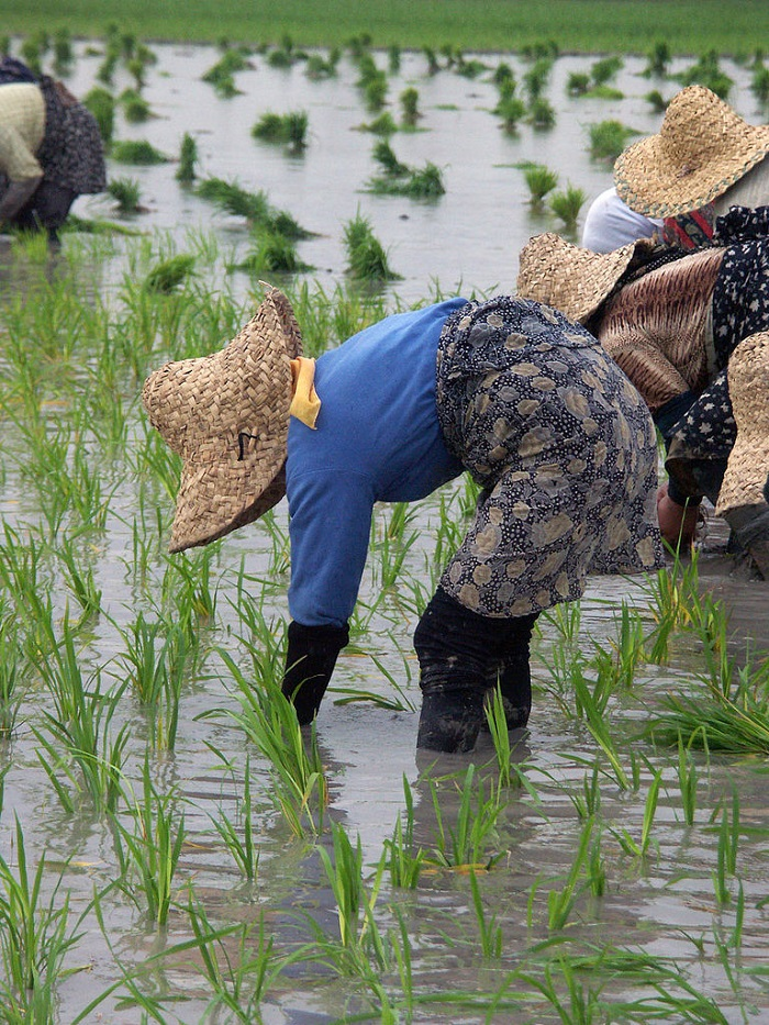 Why rice is the most ecological agricultural product? Find out the secret of rice cultures