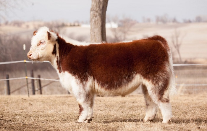 What first appear to be plush animals are actually fluffy cows