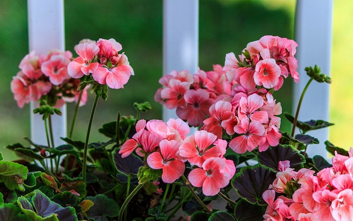 3 simple and efficient methods that triple the flowering of geraniums