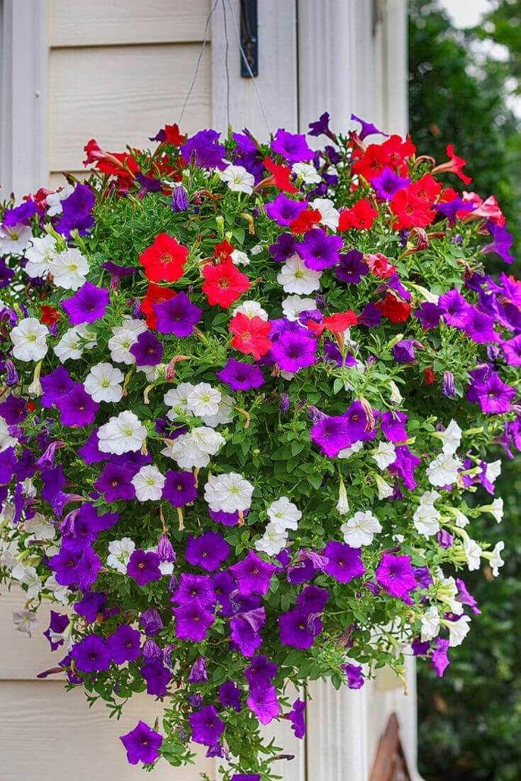 How to ensure that your petunias stay beautiful in the heat