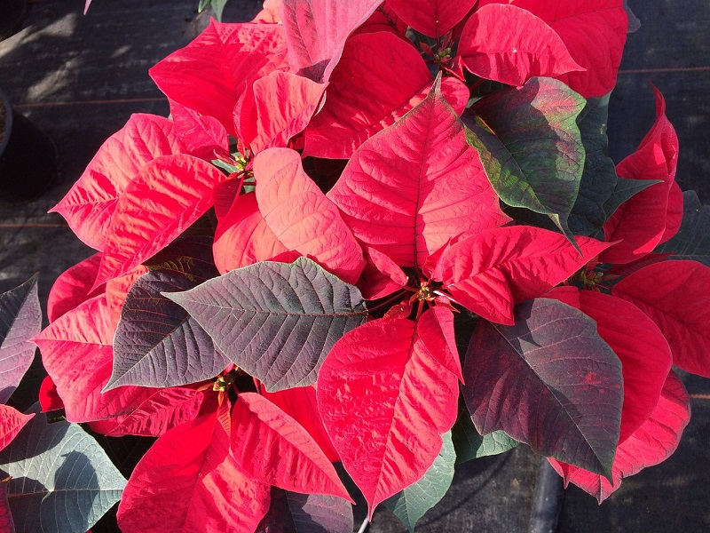 How to care for Poinsettia to help it bloom all year long