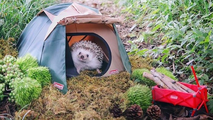 Azuki, the cutest hedgehog in the world goes camping