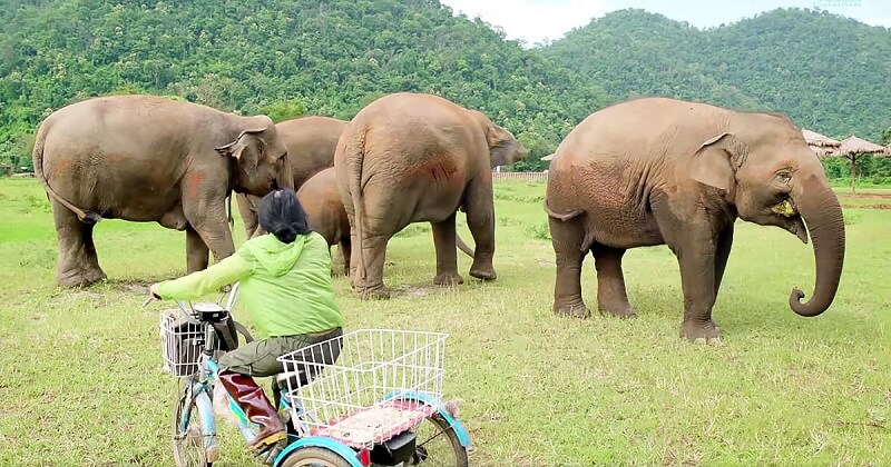 She approaches a herd of elephants on a tricycle. The reaction of the animals is very endearing