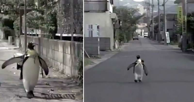 A penguin that walked to the store with a backpack to buy fish
