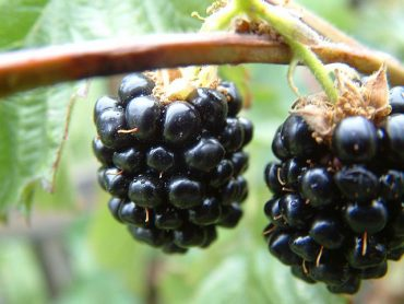 Blackberries1.jpg