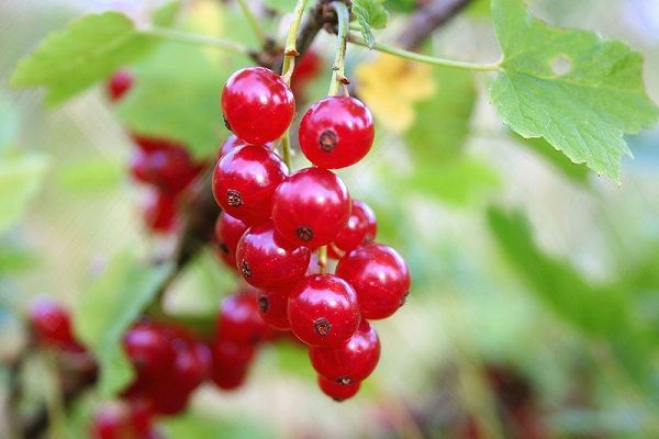 Red_currant.jpg