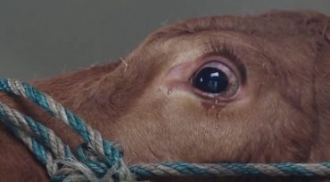 cow-crying.jpg