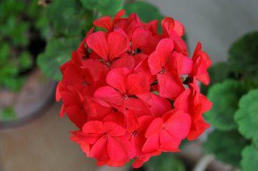 geranium2.jpeg