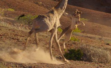 giraffa-lion.jpg