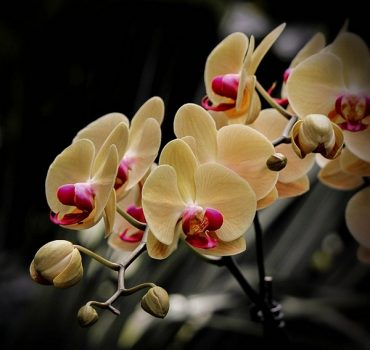 orchid-buds.jpg