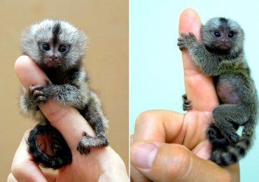 pigmy-silk-monkey.jpg