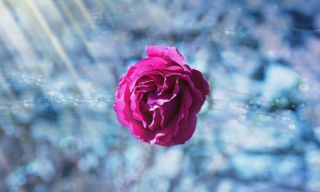 rose-1015838_640.jpg